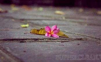 hoa rơi cửa phật là gì